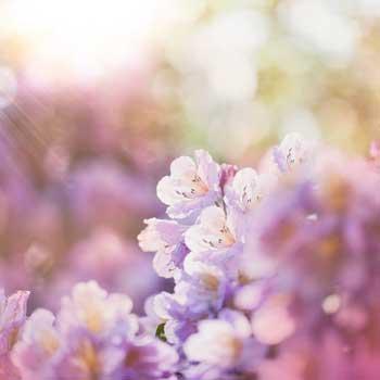 Azaleas blooming in morning light